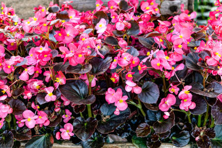 Many seedlings of flowering bushes of pink begonia in pots in a flower shop