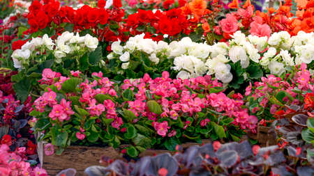 Many seedlings of flowering bushes of colorful begonia in pots in a flower shop Reklamní fotografie