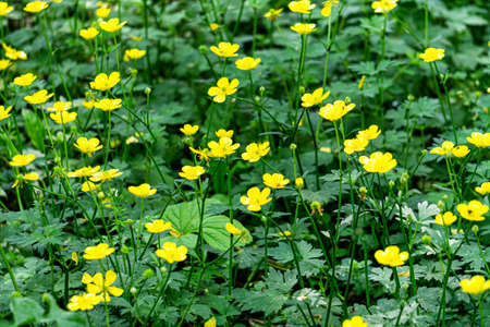 Top view of a meadow overgrown with yellow buttercup