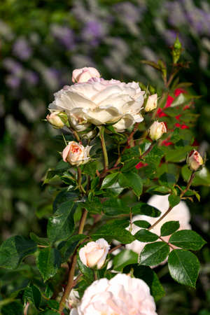 Beautiful buds of white flowers of a rose in a summer garden