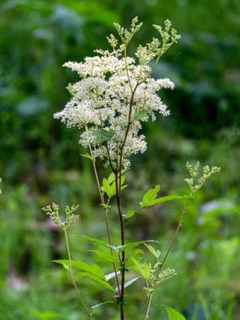 The wonderfully blooming white meadowsweet blooms on the outskirts of the forest