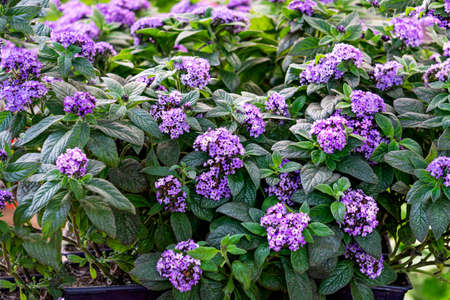 Seedling of beautiful flowers with lilac flowers at the flower market