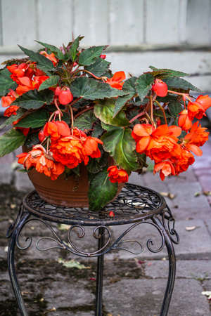 A large begonia bush in a flower pot covered with red flowers