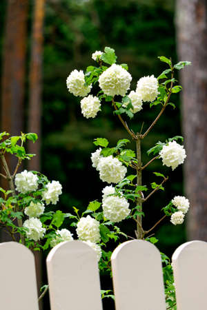 White globular flowers of garden hydrangea peep out from behind the fence