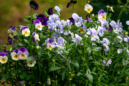 Blue and purple pansies in a flower pot