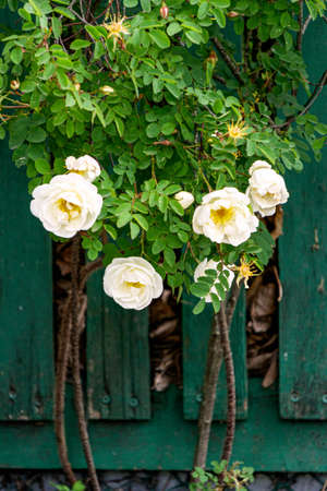 White garden rose flowers peek out over the fence
