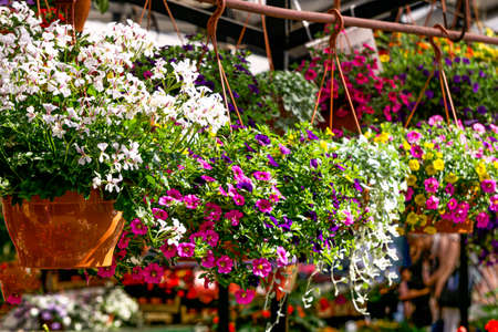 Many seedlings of flowering bushes of geraniums and petunias in pots in a flower shop