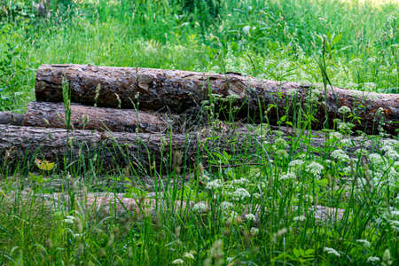 Logs thrown in the grass at the edge of the forest