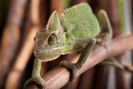 Closeup of green chameleon walking on bamboo stick. Natural environment in background. 写真素材