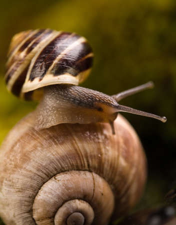 Detail of small snail moving on another snail shell. Natural scenery in background