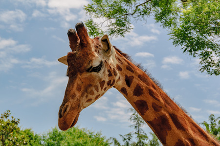 Giraffe long neck and head with blu sky in background