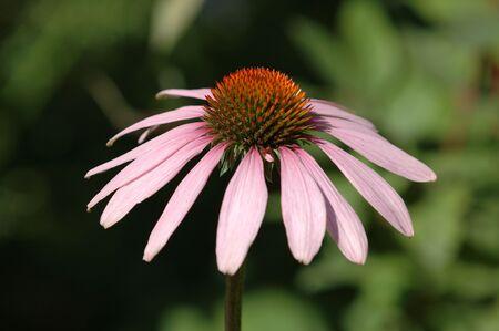 echinacea: Echinacea purpurea Stock Photo