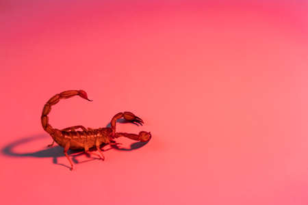 Scorpion ready to attack with the stinger on red background Stock Photo