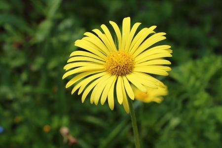 Arnica: Arnica flower in a garden