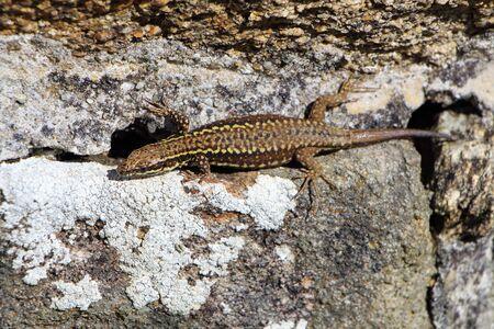 viviparous: Lizard on a wall