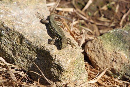 viviparous: Lizard on a stone Stock Photo
