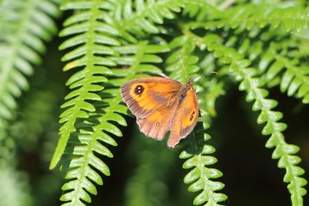 Amaryllis butterfly on fern