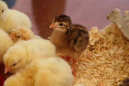 brooder: Chick in a brooder Stock Photo