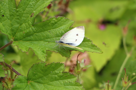 pieris: Cabbage white butterfly on a leaf Stock Photo