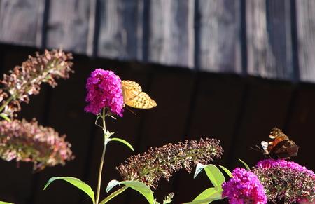 Lady butterfly on butterfly bush Stock Photo