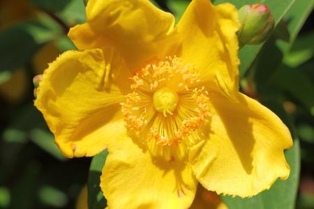 Close-up of yellow Hypericum flower in a garden
