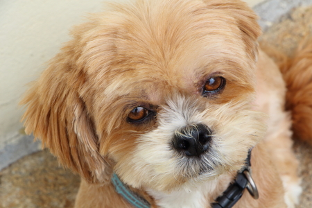 Head of a Lhasa Apso dog looking at the camera in a garden Stock Photo