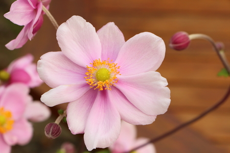Pink flower of Japanese anemone in a garden during summer