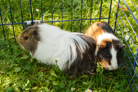 Two guinea pigs in the grass of a garden during summer