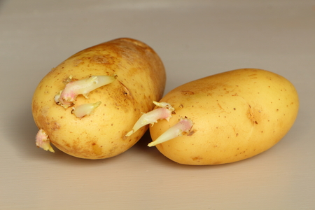Two yellow germinated potatoes on a table