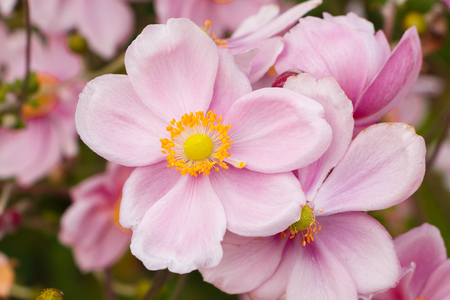 Flowers of pink Japanese anemone in a garden