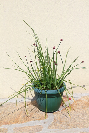 Chive plant with purple buds in a green flower pot in a garden