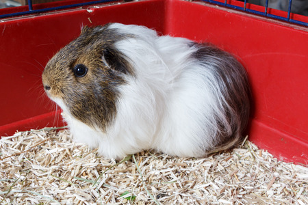 Grey and white guinea pig on litter in a cage Banque d'images