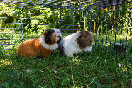 Two guinea pigs under a wire fencng in grass in a garden