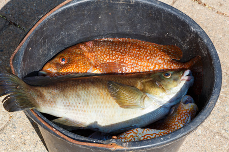 Orange and brown Ballan wrasses in a bucket after fishing in Brittanny Stock Photo