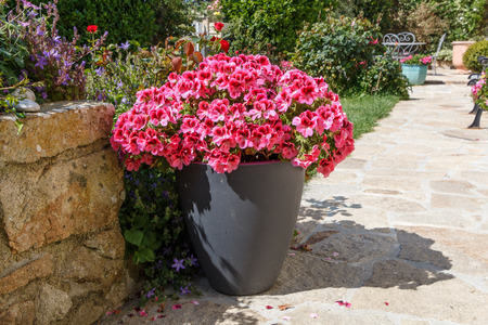 Grey planter with pink geranium flowers in a garden during spring Stock Photo