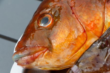 Orange Ballan wrasse on a pewter dish after fishing in Brittany Stock Photo