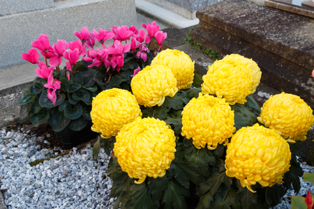Yellow chrysanthemum and pink cyclamen plants on a tombstone for All Saints Day