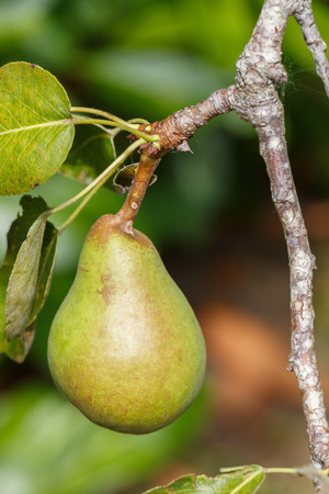 Green pear ripening on a pear tree in an orchard during summer Stockfoto - 116160148