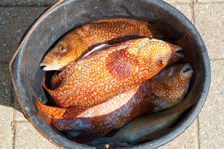 Orange ballan wrasses in a bucket after fishing in Brittany