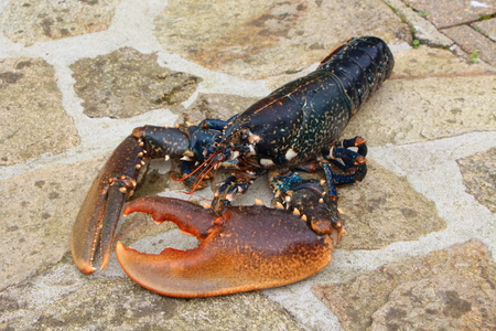 Breton alive lobster after fishing in Brittany 免版税图像