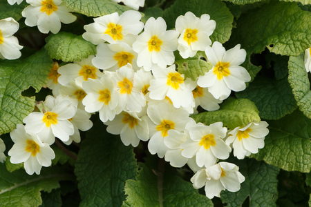 Yellow primroses in a garden during spring