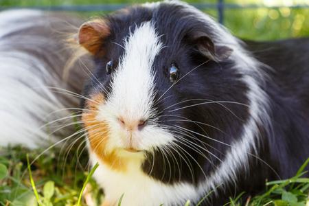 Guinea pig in grass in a wire fencing Standard-Bild
