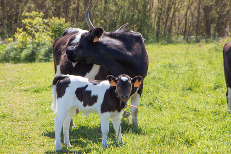 Breton Pie Noire calf and cow in a field in Brittany