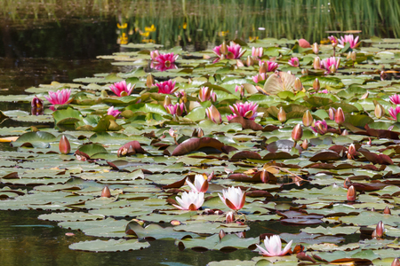 Water lily with pink flowers on a pond and reed in Brittany Stok Fotoğraf - 121657865
