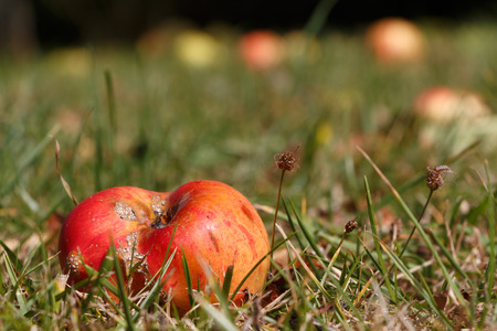 Rotten apple on the ground under an apple tree in an orchard during autumn