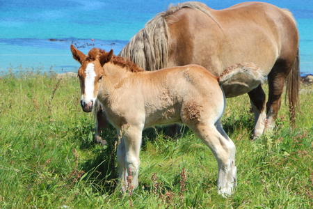 Chestnut Trait Breton mare and her foal in a field near the coast in Brittany