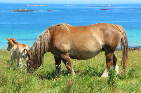 Trait Breton mare and her foal in a field near the sea in Brittany Imagens
