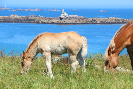 Trait Breton mare and her foal grazing in a field near the coast in Brittany