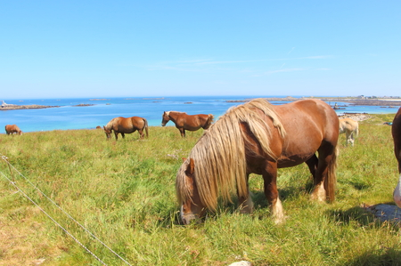 Trait Breton horses grazing in a field near the sea in Brittany Imagens