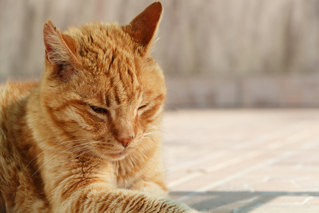 Head of a lying red cat in a garden 스톡 콘텐츠 - 124986550